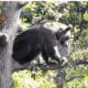un-urs,-intr-un-copac,-in-centrul-localitatii-brasovene-sirnea