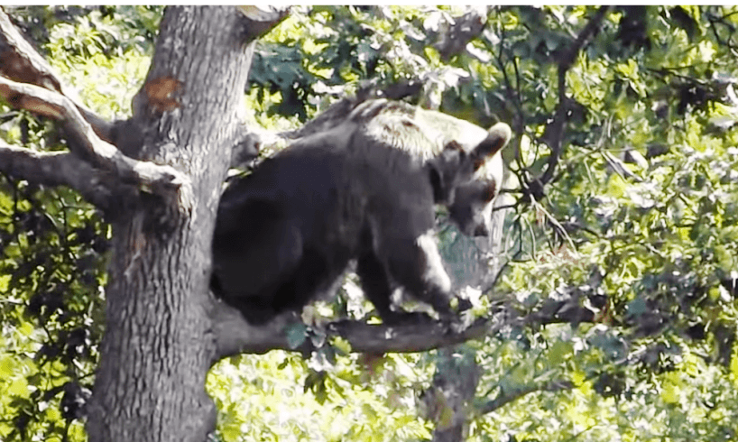 un urs intr un copac in centrul localitatii brasovene sirnea