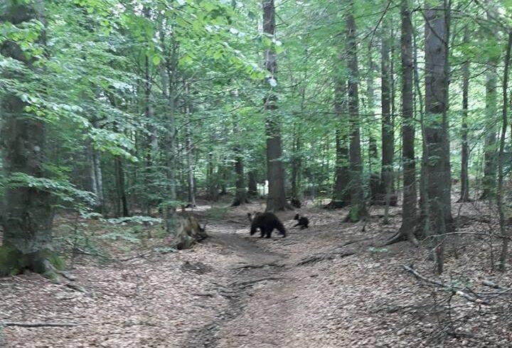 jandarmii-harghiteni-au-intervenit-ieri-pentru-indepartarea-unei-ursoaice-cu-pui-si-a-unui-urs