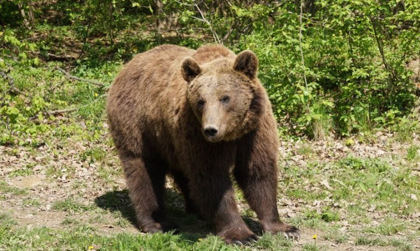 doi-turisti-straini,-atacati-de-urs-in-muntii-fagaras