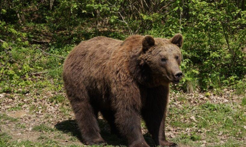 un-urs-a-intrat-in-curtea-unei-scoli-din-mures