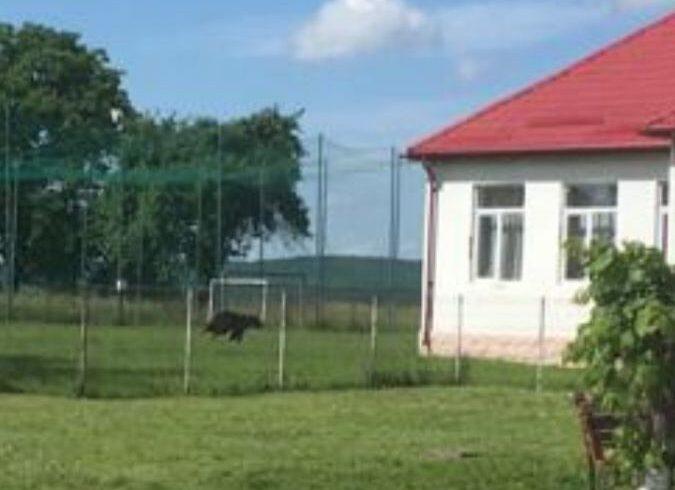 un urs a ajuns in curtea scolii din breaza
