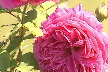 comertul cu produse din trandafiri o afacere profitabila