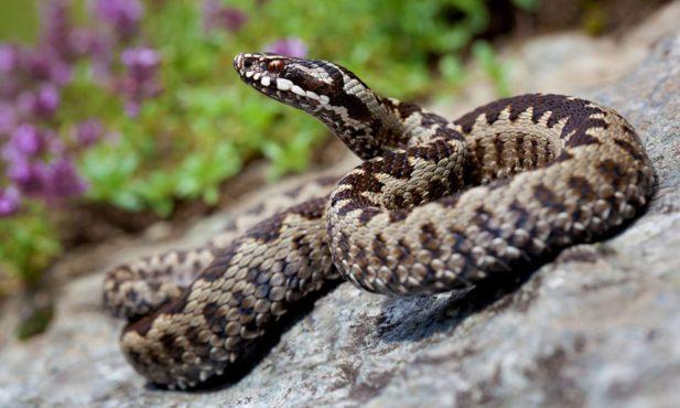 atentie intalnirile cu serpii pe munte devin din ce in ce mai dese si in cele mai nebanuite locuri