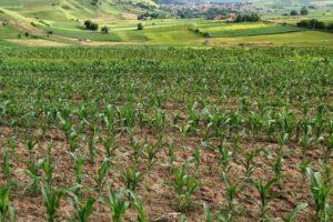 culturile agricole din mures si covasna nu au fost afectate de fenomene meteo extreme