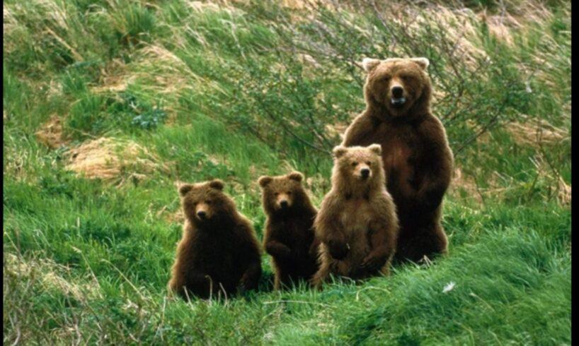ministerul mediului vrea sa emita ordin pentru capturarea a 140 de ursi si 94 de lupi