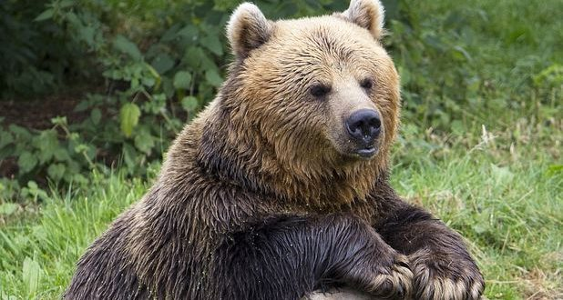 primarii mureseni ingrijorati de numarul mare de atacuri ale ursilor