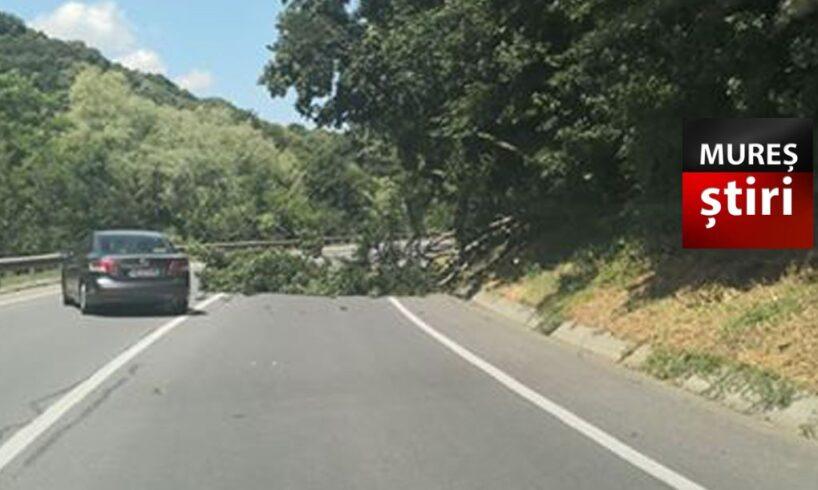 acum!-copac-cazut-pe-carosabil,-o-banda-blocata,-pe-dn13-e60!