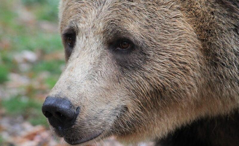 interventie a jandarmilor dupa ce un urs a aparut in localitatea harghiteana pauleni ciuc