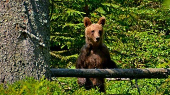 avertisment-al-salvamontistilor-din-mures:-un-urs-tanar-s-a-instalat-in-aria-protejata-scaunul-domnului