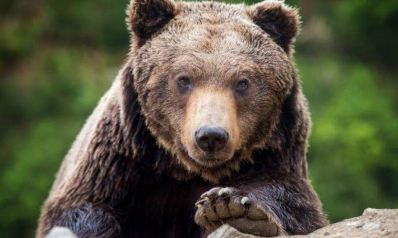 azi.-ministrul-a-aprobat-impuscarea-a-peste-100-de-ursi!