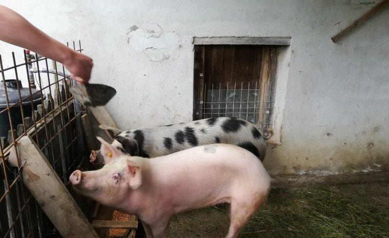 memorandum-romano-vietnamez-pentru-realizarea-unui-vaccin-impotriva-pestei-porcine-africane