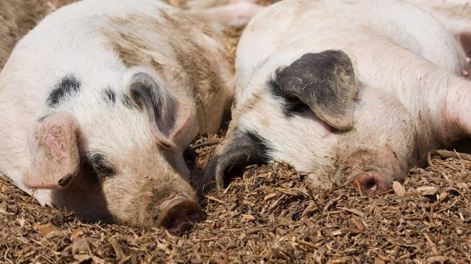 controale-in-peste-200-de-ferme-agricole-din-covasna-pentru-prevenirea-extinderii-pestei-porcine