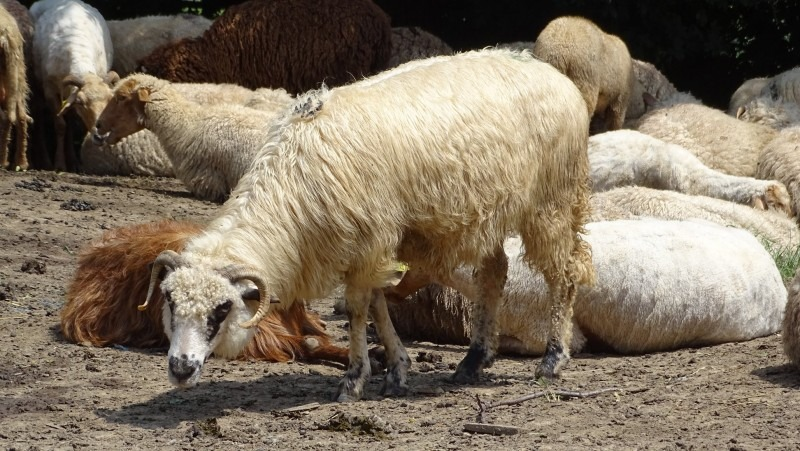 oierii din mures se plang ca nu primesc niciun ban pe lana predata