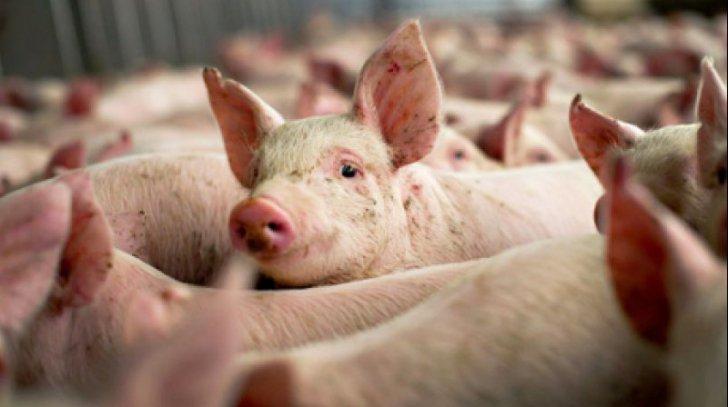 dsv covasna masuri suplimentare pentru prevenirea pestei porcine africane