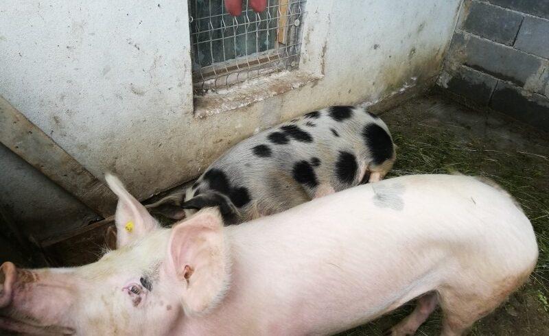 masuri suplimentare pentru prevenirea pestei porcine in judetele mures si covasna