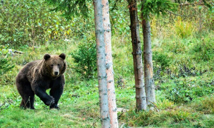 jandarmii harghiteni au intervenit pentru indepartarea unui urs din satul soimeni