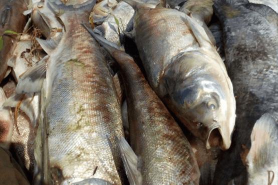 doua tone de pesti au pierit intr un lac din miercurea nirajului