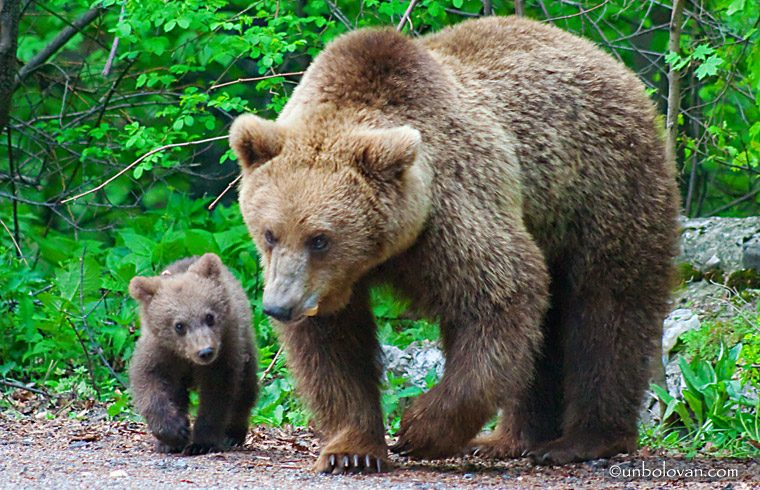 jandarmii harghiteni au fost chemati de trei ori in ultimele zile pentru alungarea unor ursi de la baile tusnad