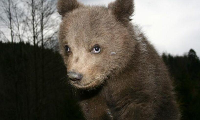 trafic-ingreunat-dupa-ce-2-pui-de-urs-au-fost-loviti-de-o-masina-pe-dn-13a!