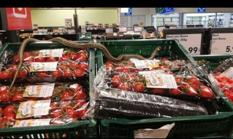 inedit.-sarpe-gasit-printre-lazile-cu-rosii-dintr-un-supermarket!