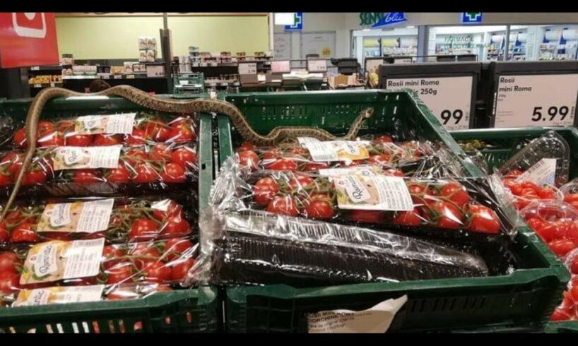 sarpele-gasit-pe-un-raft-al-unui-supermarket-din-sfantu-gheorghe-este-inofensiv-pentru-om-–-anunta-dsvsa-covasna