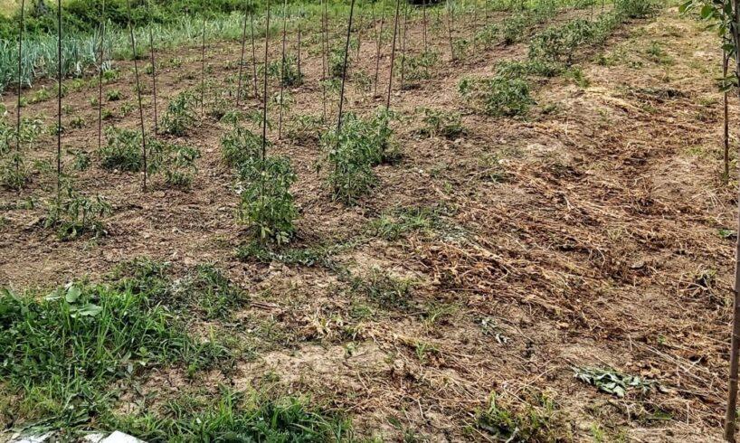 productiile-agricole-din-vestul-judetului-mures,-afectate-de-seceta