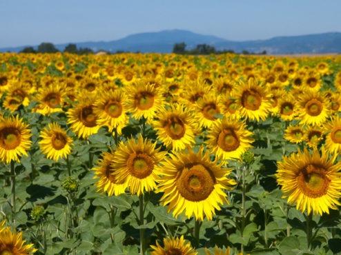 culturile-viitoare-de-sfecla,-floarea-soarelui-si-porumb,-in-pericol-dupa-interzicerea-tratarii-semintelor-cu-neonicotinoide