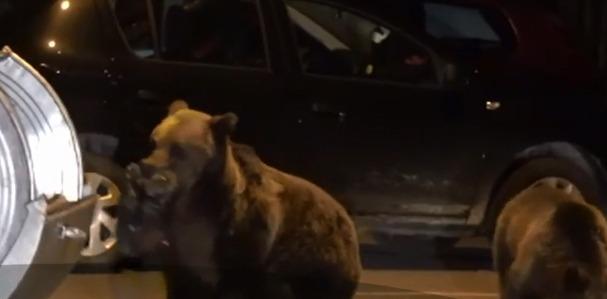 apm mures efectivul optim de ursi este de 240 evaluarile fondurilor de vanatoare indica 1 286 de ursi