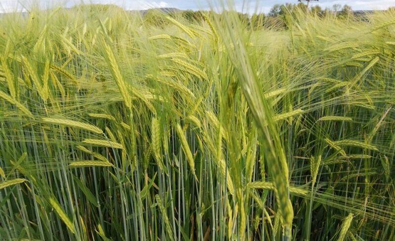 fermierii-mureseni-au-obtinut-productii-istorice-la-grau