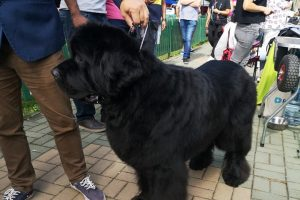 peste-4.600-de-arbitraje-la-'dracula-dog-show'-pentru-caini-din-33-de-tari