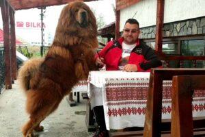 cel-mai-frumos-mastiff-tibetan-din-lume-traieste-la-targu-mures