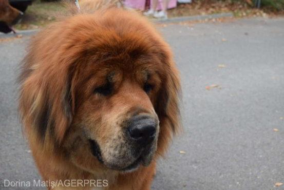 cel-mai-frumos-mastif-tibetan-din-lume-e…targumuresean!