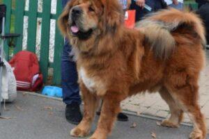 cel-mai-frumos-mastiff-tibetan-din-lume-traieste-la-targu-mures!