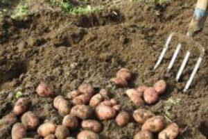 cartofii:-productie-mai-mica,-preturi-mai-mari