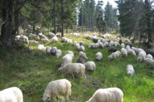 guvernul-a-aprobat-prelungirea-a-termenului-pana-la-care-fermierii-pot-valorifica-lana
