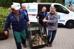 maimutele confiscate de la nutu camataru au ajuns la zoo targu mures