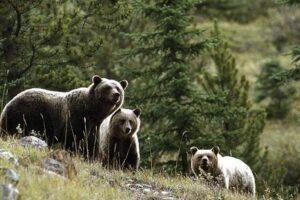 doar 10 dintre ursii care au produs daune recoltati anul acesta in mures