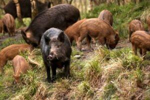 mistreti-cu-suspiciune-de-pesta-porcina-africana,-descoperiti-in-zona-orasului-rupea