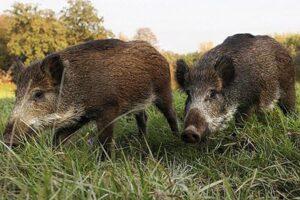masuri-de-preventie-in-judetul-brasov-dupa-aparitia-primului-caz-de-pesta-porcina-africana