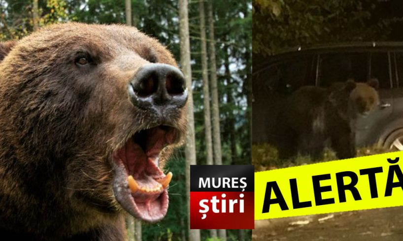 invazie de ursi in mures mai multe mesaje ro alert emise in aceasta noapte