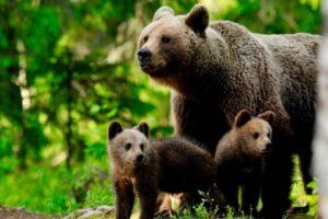 jandarmii-harghiteni,-solicitati-sa-alunge-o-ursoaica-si-puii-ei,-care-au-intrat-intr-o-curte-din-statiunea-borsec