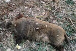 sibiu:-un-porc-mistret-depistat-cu-pesta-porcina-africana,-altul-suspect-de-boala