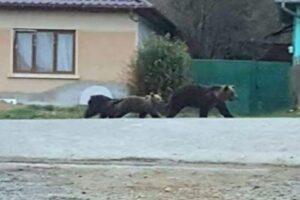alerta!-ursi-pe-o-strada-dintr-un-oras-muresean!