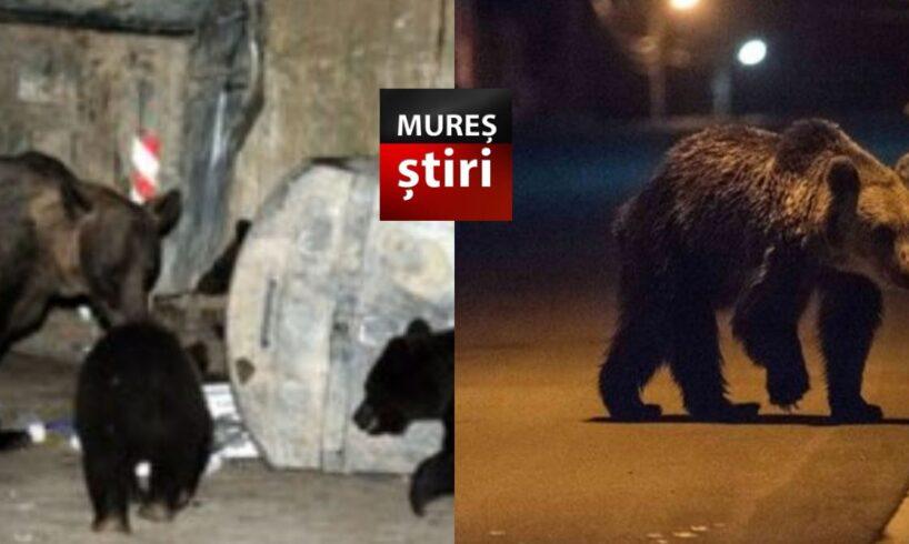 acum o noua avertizare ro alert privind 3 ursi pe strazile dintr un municipiu din mures