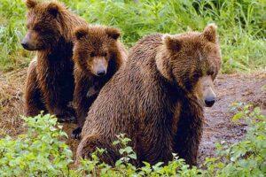 ursoaica-si-puii-in-tarnaveni-nu-au-fost-gasiti
