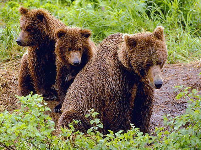 ursoaica si puii in tarnaveni nu au fost gasiti