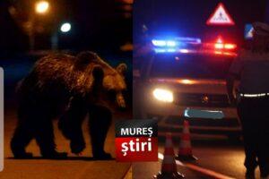 alerta-privind-3-ursi,-scoate-toate-fortele-de-ordine-pe-strazile-din-municipiu,-toata-noaptea!