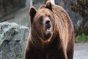 ursi-in-tarnaveni!-primarul-sorin-meghesan-a-convocat-comitetul-local-pentru-situatii-de-urgenta