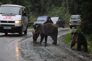 noaptea-trecuta:-doi-ursi-au-murit-in-judetul-mures,-dupa-ce-au-fost-loviti-de-masini